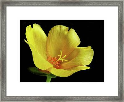 Framed Print featuring the photograph Portrait Of A Yellow Purslane Flower by David and Carol Kelly