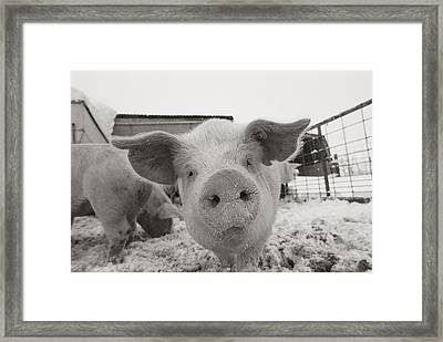 Portrait Of A Young Pig. Property Framed Print by Joel Sartore