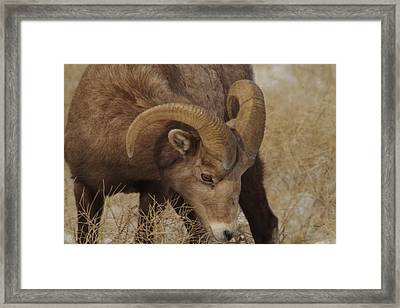 Portrait Of A Young Ram Framed Print by Jeff Swan