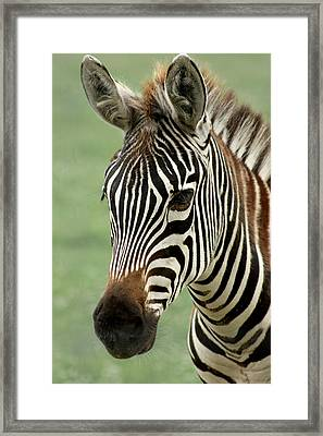 Portrait Of A Zebra Framed Print by Barbara  White