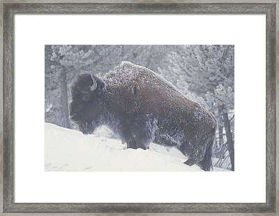Portrait Of An American Bison Framed Print by Michael Melford