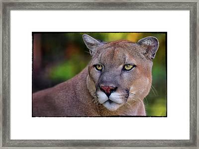 Portrait Of  Cougar  Framed Print