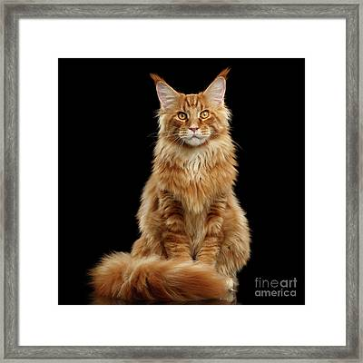 Portrait Of Ginger Maine Coon Cat Isolated On Black Background Framed Print