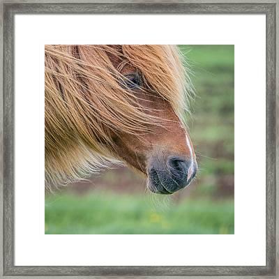 Portrait Of Icelandic Horse, Iceland Framed Print