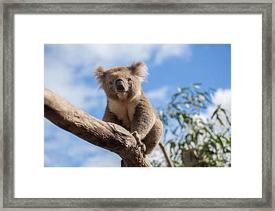 Portrait Of Koala Sitting On A Branch Framed Print by Greg Brave