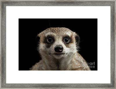 Portrait Of Meerkat On Black Background Framed Print by Sergey Taran