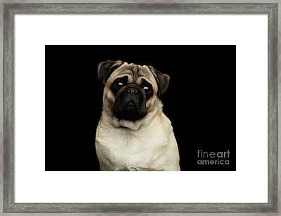Portrait Of Pug Framed Print by Sergey Taran