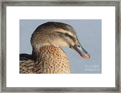 Portrait Of Rouen-mallard Mixed Breed Duck Hen Framed Print by Merrimon Crawford
