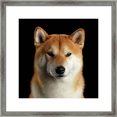 Portrait Of Shiba Inu Framed Print