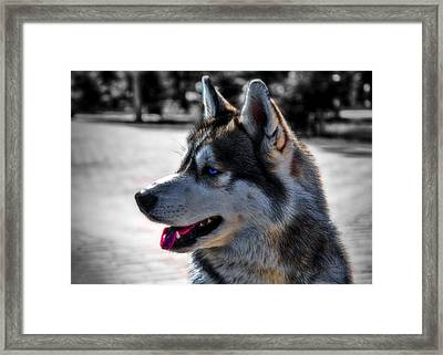 Portrait Of Siberian Husky Framed Print by Alexey Bazhan