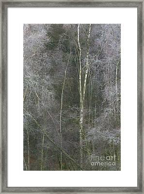 Portrait Of Silver Birch Framed Print