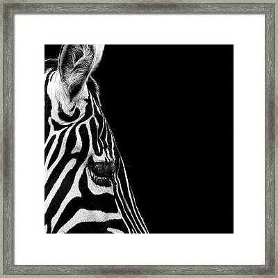 Portrait Of Zebra In Black And White Iv Framed Print by Lukas Holas