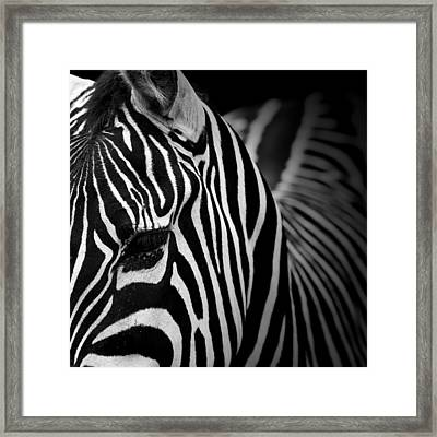 Portrait Of Zebra In Black And White V Framed Print by Lukas Holas