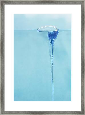 Portugese Man O War Framed Print by Dave Fleetham - Printscapes