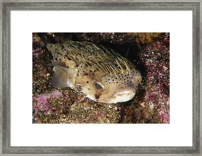 Porupinefish Close-up Portrait Sleeping Framed Print by James Forte