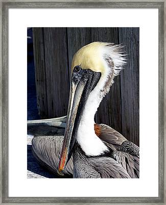 Posing For Pelican Pictures Framed Print