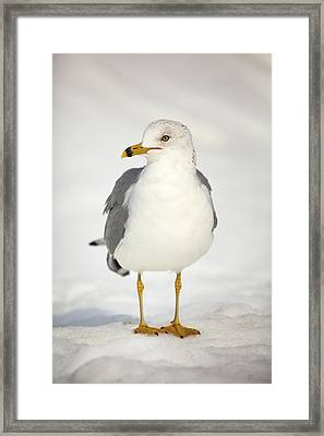 Posing Gull Framed Print
