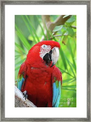Posing Poised Scarlet Macaw Bird Framed Print