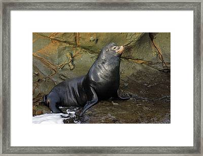 Posing Sea Lion Framed Print by Randall Ingalls