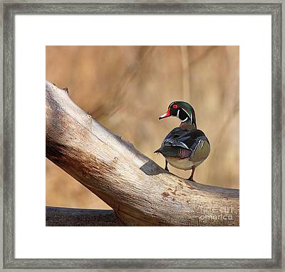 Posing Wood Duck Framed Print