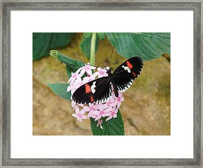 Framed Print featuring the photograph Postman Butterfly, Heliconius Melpomene by Paul Gulliver