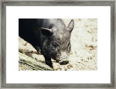 Potbelly Piglet Portrait Framed Print