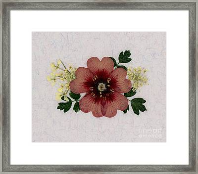 Potentilla And Queen-ann's-lace Pressed Flower Arrangement Framed Print