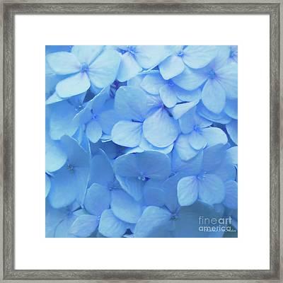 Powder Blue Hydrangea Framed Print