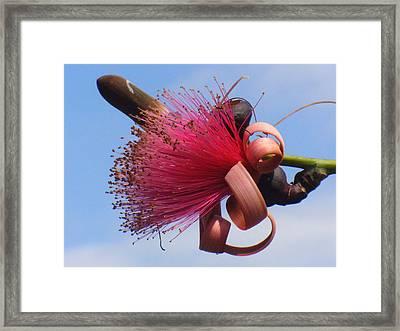 Powder Puff Blossom Framed Print