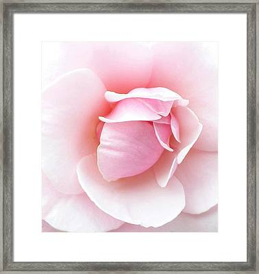 Powder Puff Rose Framed Print by Florene Welebny