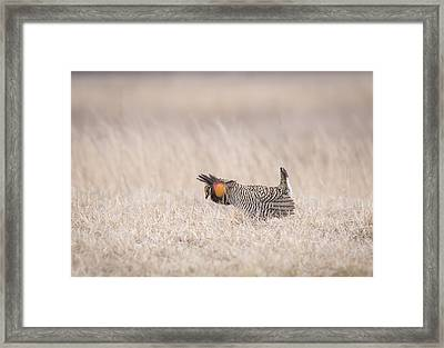 Prairie Chicken 1-2015 Framed Print by Thomas Young