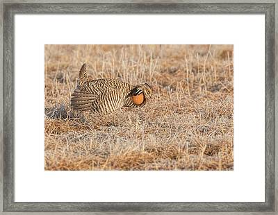 Prairie Chicken 10-2015 Framed Print by Thomas Young