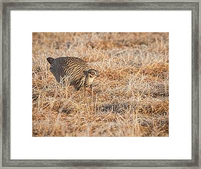 Framed Print featuring the photograph Prairie Chicken 11-2015 by Thomas Young