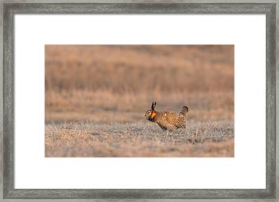 Prairie Chicken 2013-14 Framed Print by Thomas Young