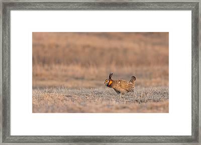 Prairie Chicken 2013-14 Framed Print