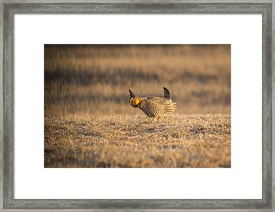 Prairie Chicken 2013-15 Framed Print by Thomas Young