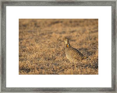 Prairie Chicken 2013-16 Framed Print by Thomas Young