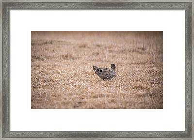 Prairie Chicken 3-2015 Framed Print by Thomas Young