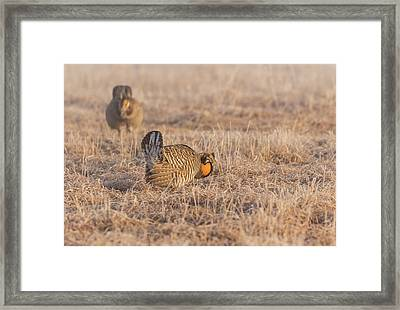 Prairie Chicken 4-2015 Framed Print by Thomas Young