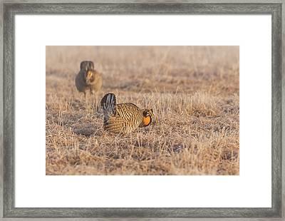 Prairie Chicken 4-2015 Framed Print