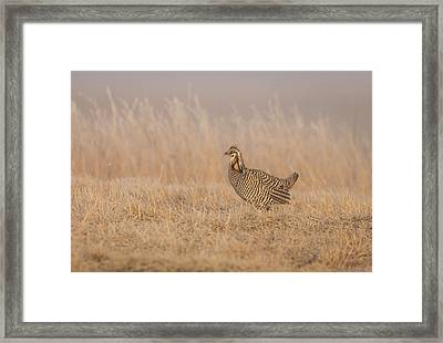 Prairie Chicken 5-2015 Framed Print by Thomas Young