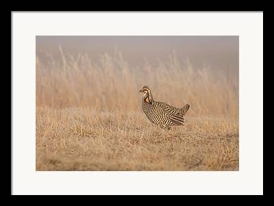 Wisconsin Prairie Chickens Framed Prints
