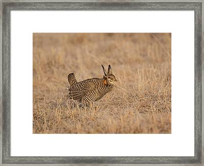 Prairie Chicken 6-2015 Framed Print by Thomas Young