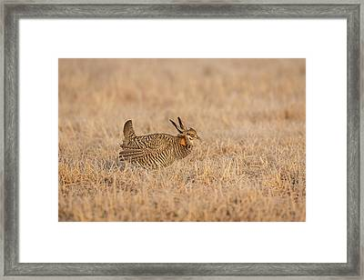Prairie Chicken 7-2015 Framed Print by Thomas Young
