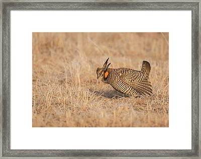 Framed Print featuring the photograph Prairie Chicken 8-2015 by Thomas Young