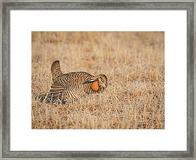 Framed Print featuring the photograph Prairie Chicken 9-2015 by Thomas Young