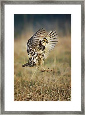 Prairie Chicken - Booming Framed Print