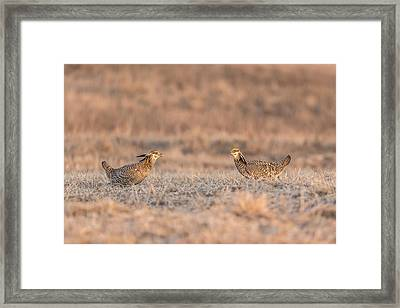 Prairie Chickens 2013-1 Framed Print by Thomas Young