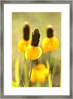 Prairie Coneflower In Morning Light Framed Print