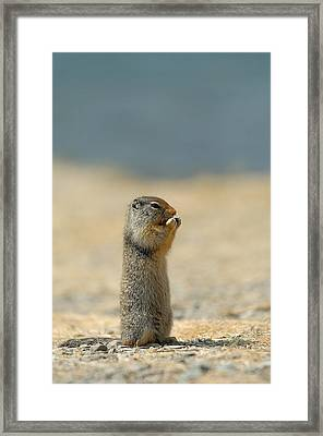 Prairie Dog Framed Print by Sebastian Musial